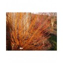 Salix alba - Saule blanc