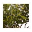 Salix babylonica var. pekinensis 'Tortuosa' - saules tortueux,