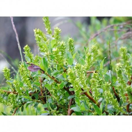 Salix brevisserata - Saule à dents courtes, saule à feuille de myrte