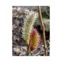 Salix chaenomeloides 'Mount Aso' -Saule à chaton géant