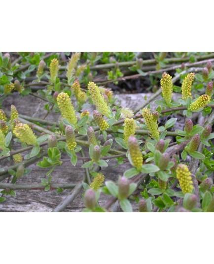 Salix cottetii x