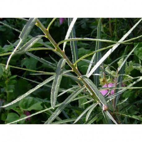 Salix eleagnos - saule drapé, saule à feuille de romarin