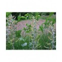 Salix eriocephala - saule à tête laineuse