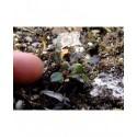 Salix fenzliana x - Saule