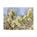 Salix friesiana x -