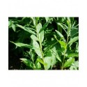 Salix holosericea x