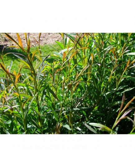 Salix purpurea 'Americana' - Saule pourpre