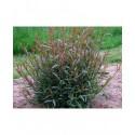 Salix purpurea 'Eugenii' - saule pourpre