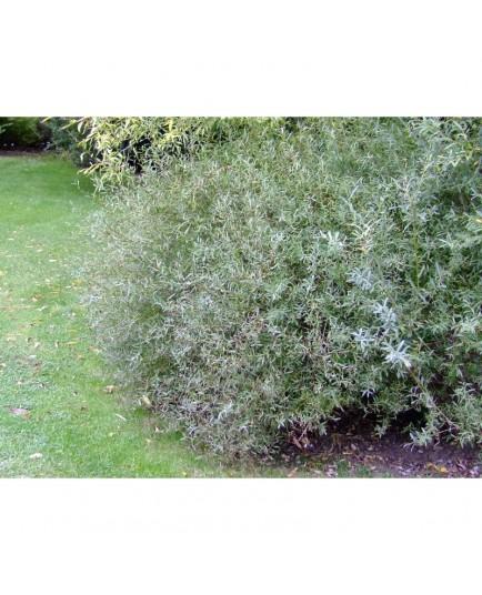 Salix purpurea 'Nana' - Saule poupre nain
