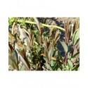 Salix purpurea x daphnoides