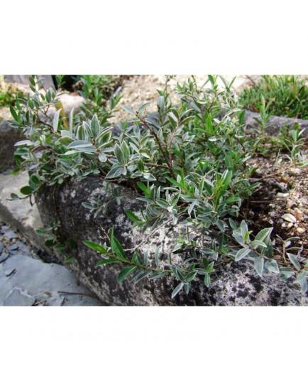 Salix pyrenaica - Saule des Pyrénées