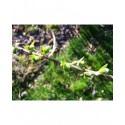 Salix reichardtii x - saule de Reichardt