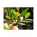Salix retusa x helvetica - saules alpins