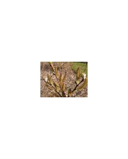 Salix silesiaca - saule de Silésie
