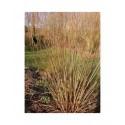 Salix triandra 'Noir de Villaines' - saule à trois étamines, saule amande