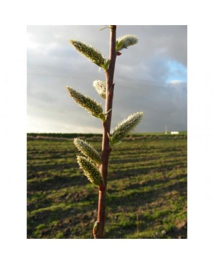 Salix viminalis 'Romarin' -saule des vanniers