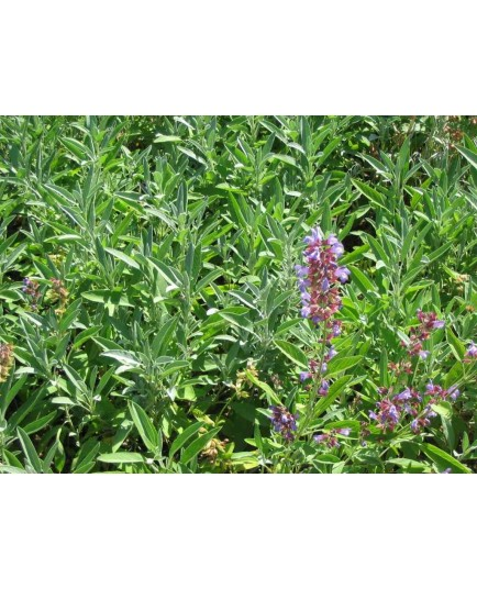 Salvia officinalis - Sauge Officinale