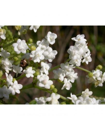 Sambucus nigra 'Plena' - sureau à fleurs doubles
