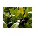 Sarcococca hookeriana var.humilis