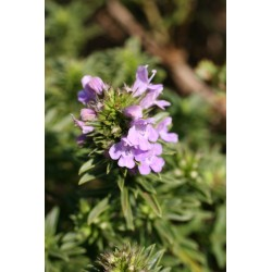 Satureja montana subsp. illyrica - Sarriette de Turquie