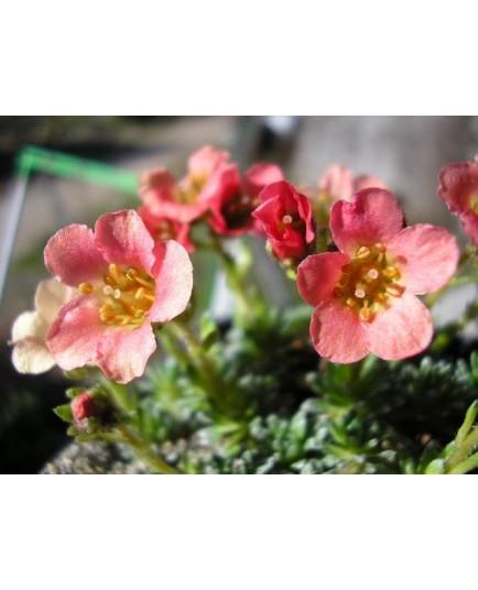 Saxifraga 'Bohemia' - Saxifrage