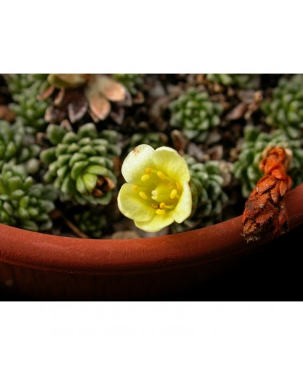 Saxifraga 'Gelber Findling' - Saxifrages