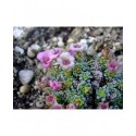 Saxifraga anglica x 'Cranbourne' - saxifrages