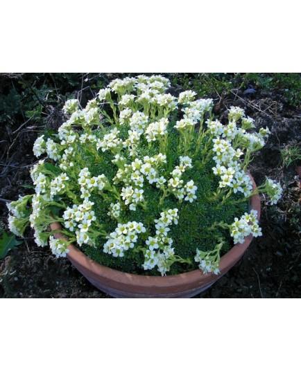Saxifraga apiculata x 'Alba' - Saxifrage