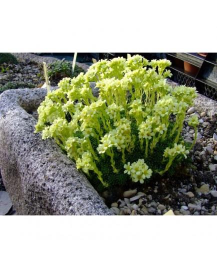 Saxifraga apiculata x 'Gregor Mendel' - Saxifrage