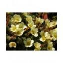 Saxifraga apiculata x 'Pungens' - saxifrages