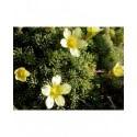Saxifraga boydii x 'Cherry Trees' - Saxifrage