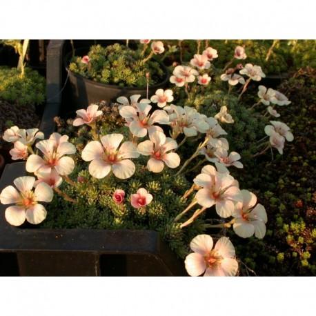 Saxifraga boydilacina x 'Penelope' - Saxifrage