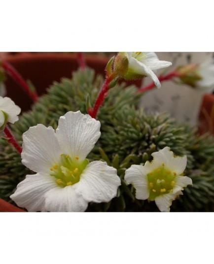 Saxifraga burseriana 'Major' - Saxifrage