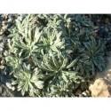 Saxifraga crustata - Saxifrage incrustée