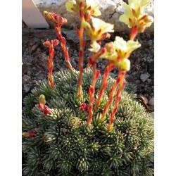 Saxifraga elisabethae x 'Brno' - Saxifrage