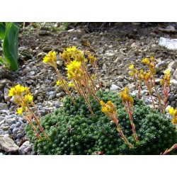 Saxifraga elisabethae x 'Carmen' - saxifrages