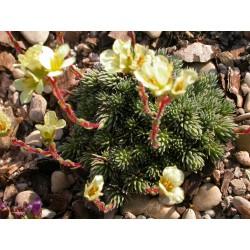 Saxifraga elisabethae x 'Primrose Dame' - saxifrage