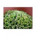 Saxifraga fritschiana x 'Portae' - Saxifragaceae - saxifrages