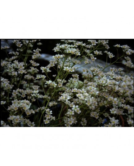 Saxifraga gaudinii x 'Canis Dalmatica' - saxifrages