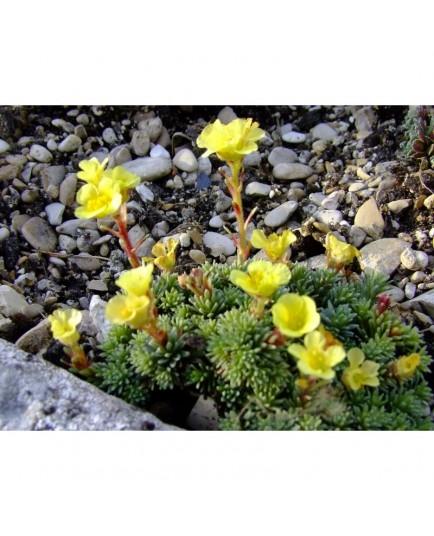 Saxifraga grata x 'Loeflingii' - Saxifragaceae - saxifrages