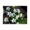 Saxifraga hostii var altissima - Saxifrage incrustée