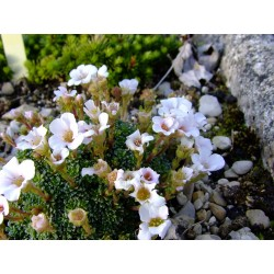 Saxifraga irvingii x 'Mother of Pearl' - Saxifrage
