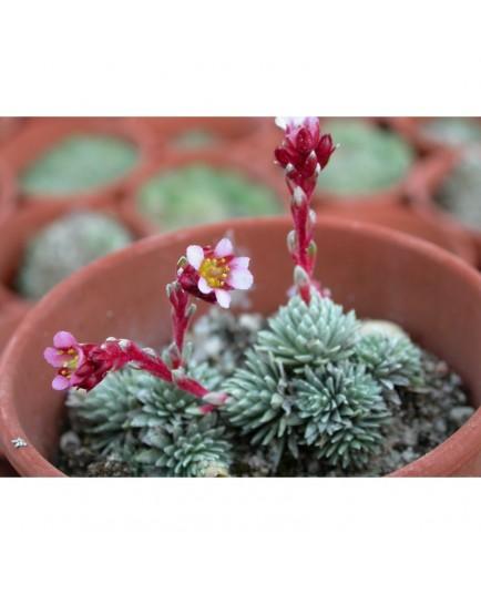 Saxifraga mariae-theresae x 'Theresia' - saxifrages