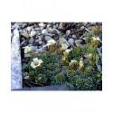 Saxifraga megaseiflora x 'Galaxie' - saxifrages