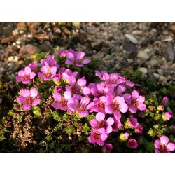 Saxifraga oppositifolia 'Vaccariana' - saxifrages