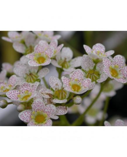 Saxifraga paniculata 'Balcana' - saxifrages