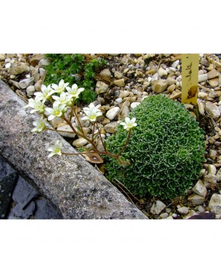 Saxifraga paniculata 'Brevifolia' - saxifrage