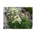 Saxifraga paniculata 'Cream' - Saxifrage