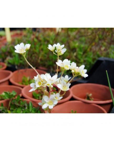 Saxifraga paniculata 'Flavescens' - saxifrages