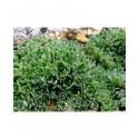 Saxifraga paniculata 'Hirtella' - Saxifrage
